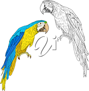 Royalty Free Clipart Image of Two Macaws