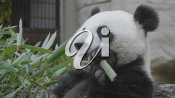 Panda eat juicy bamboo branches for lunch.