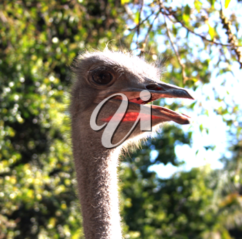 Royalty Free Photo of an Ostrich