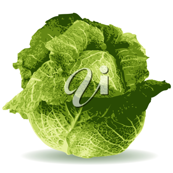 Royalty Free Clipart Image of a Cabbage