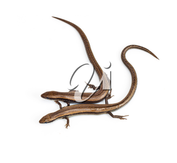 Two lizards on a white background