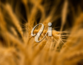 ears of ripe wheat on a black background