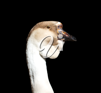 portrait of a goose on a black background