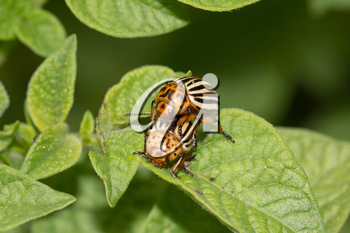 Colorado potato beetle on potato leaves in nature