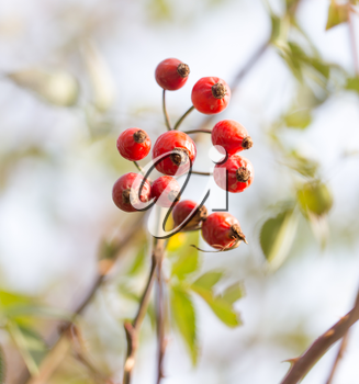 rosehips Outdoors