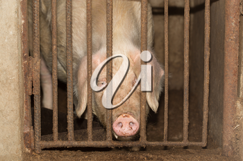 pig behind the fence