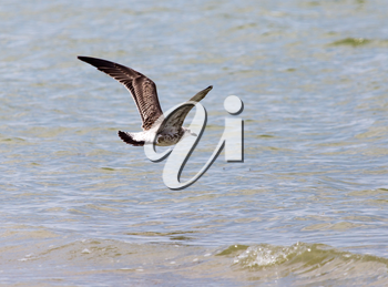 seagull in flight over the water of the lake