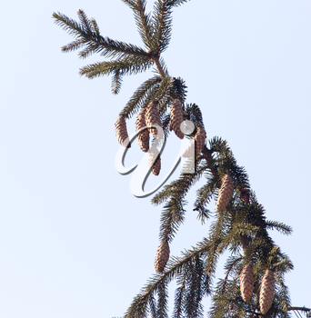 buds on the branches of spruce on the nature