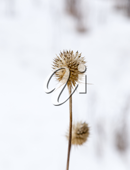 dry grass on a background of snow in the winter