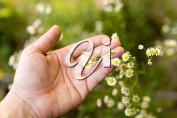 small daisies in hand on nature