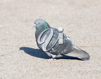 portrait of pigeon on nature