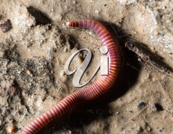 red worm on the ground. macro
