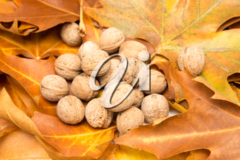 walnut in the yellow leaves in autumn