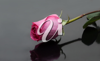 Royalty Free Photo of a Pink Rose
