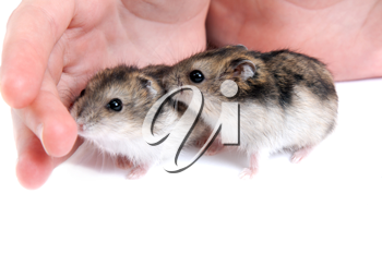 Royalty Free Photo of a Person With Hamsters