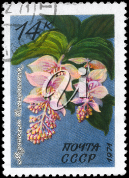 USSR - CIRCA 1971: A Stamp printed in USSR shows the Medinilla magnifica, from the series Flowers, circa 1971