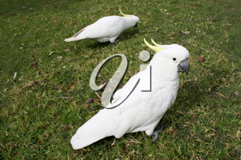 Royalty Free Photo of Two Cockatoos