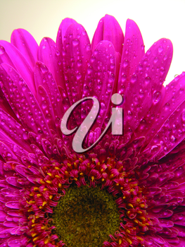 Royalty Free Photo of a Pink Gerbera Daisy