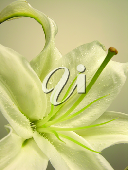 Royalty Free Photo of a Lily