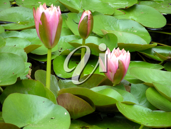 Royalty Free Photo of Water Lilies
