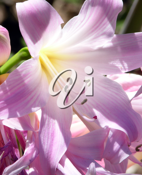 Royalty Free Photo of Lilies