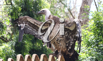 Royalty Free Photo of a Vulture