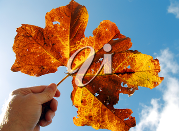 Royalty Free Photo of a Person Holding an Autumn Leaf
