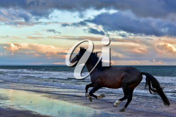 Royalty Free Photo of a Stallion Running on the Beach