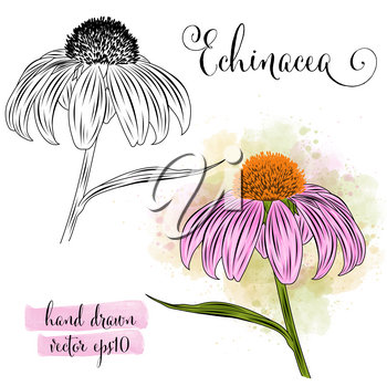 botanical art watercolor echinacea flower, vector format