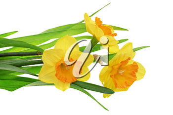 Beautiful spring three  flowers : orange narcissus (Daffodil). Isolated over white.