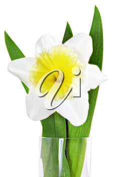 Beautiful spring single flower: yellow-white narcissus (Daffodil). Isolated over white.