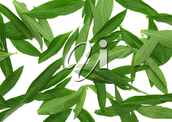 Texture background- green leaf. Isolated.