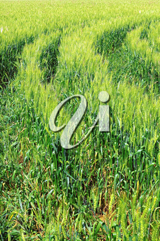 Field of green rye and tractor  trace. Close-up.