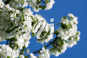 spring blossom of apple tree with white flowers