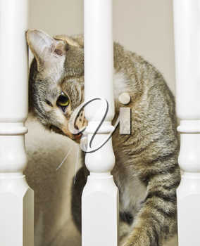 Gray tabby cat watching thru white staircase spindles