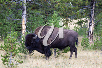 Closeup horizontal view of a healthy large North American Bison (Buffalo) grazing near the woods
