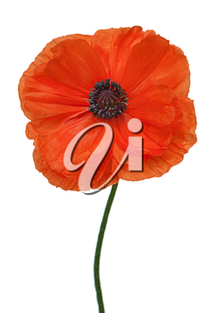 Royalty Free Photo of a Poppy