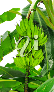 Royalty Free Photo of a Banana Tree