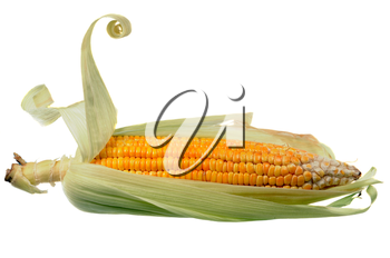 yellow corn cob isolated on a white background
