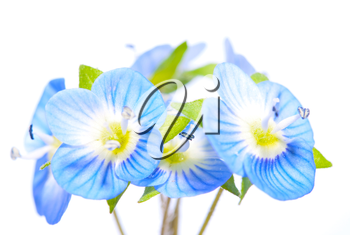 Royalty Free Photo of Blue Flowers