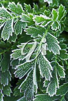Macro of frosty plant leaves in late fall