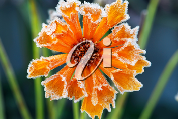 Morning frost on a flower in late fall. Focus on petals with ice crystals.