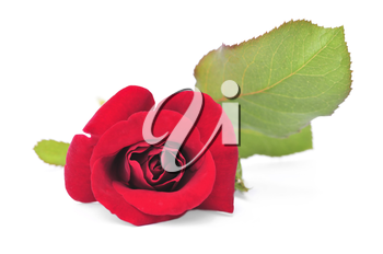 Macro of red rose flower isolated on white background