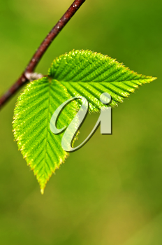 Green spring leaves budding new life in clean environment