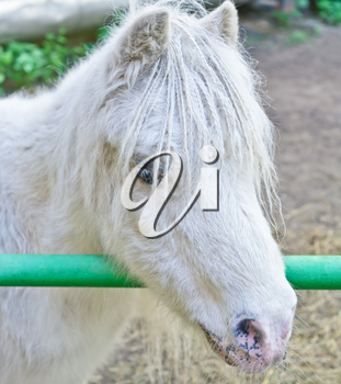 Portrait of nice white pony with plaits