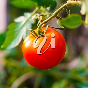 Homegrown red fresh tomato in a garden.