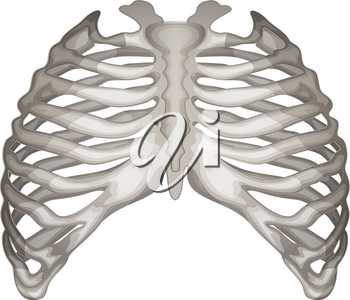 Illustration of the rib cage on a white background