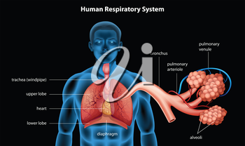 Illustration showing the respiratory system