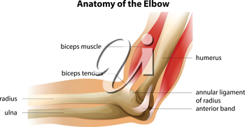 Illustration showing the anatomy of the elbow
