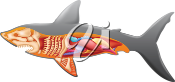 Illustration showing the shark's anatomy